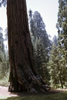 Huge tree in Sequoia